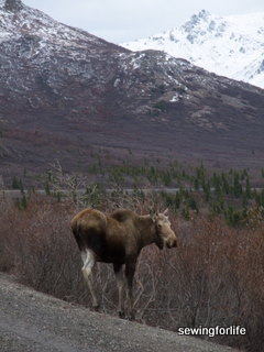 Moose in the road.  Doesn't he know about the road kill policy?