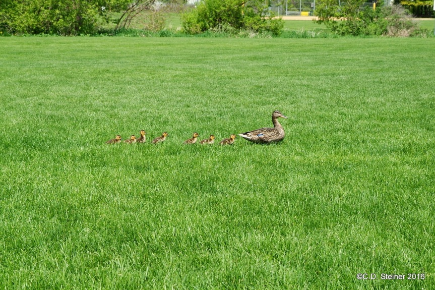 Duck Mothers